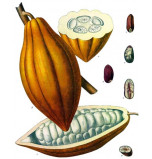 Extrait naturel de Cacao