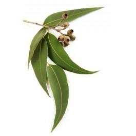 Extrait naturel d'Eucalyptus