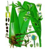 Extrait naturel de Cardamome