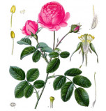 Extrait naturel de Rose de Grasse